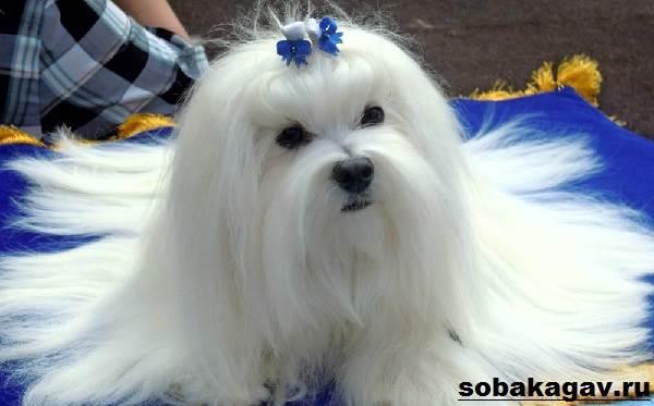 Мальтийская-болонка-собака-Описание-особенности-уход-и-цена-мальтийской-болонки-10