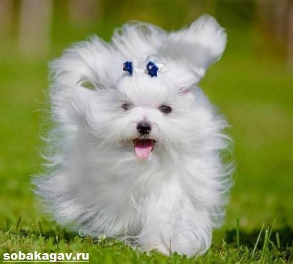 Мальтийская-болонка-собака-Описание-особенности-уход-и-цена-мальтийской-болонки-11