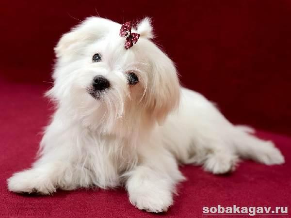 Мальтийская-болонка-собака-Описание-особенности-уход-и-цена-мальтийской-болонки-2