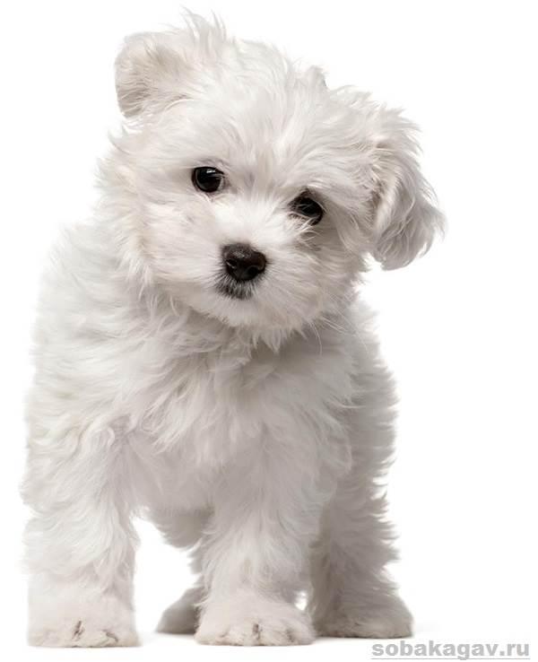 Мальтийская-болонка-собака-Описание-особенности-уход-и-цена-мальтийской-болонки-3