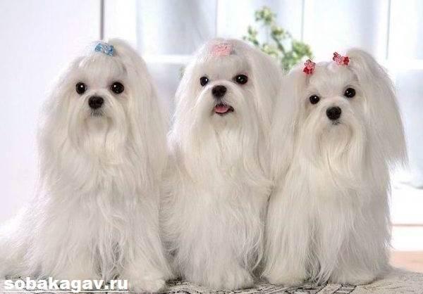 Мальтийская-болонка-собака-Описание-особенности-уход-и-цена-мальтийской-болонки-4