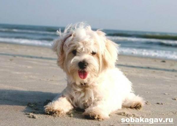 Мальтийская-болонка-собака-Описание-особенности-уход-и-цена-мальтийской-болонки-5