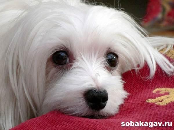 Мальтийская-болонка-собака-Описание-особенности-уход-и-цена-мальтийской-болонки-66