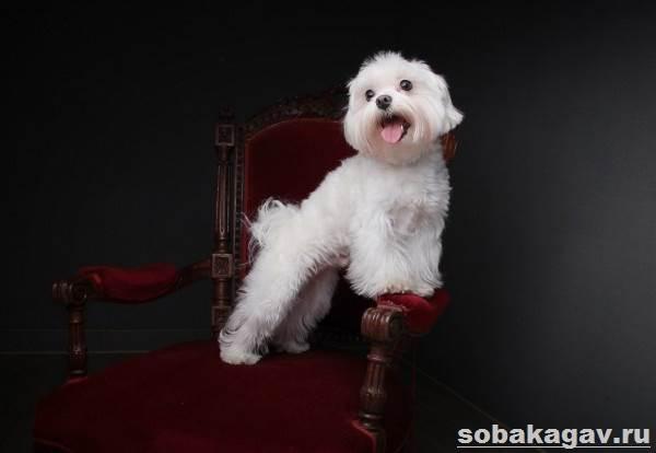 Мальтийская-болонка-собака-Описание-особенности-уход-и-цена-мальтийской-болонки-7