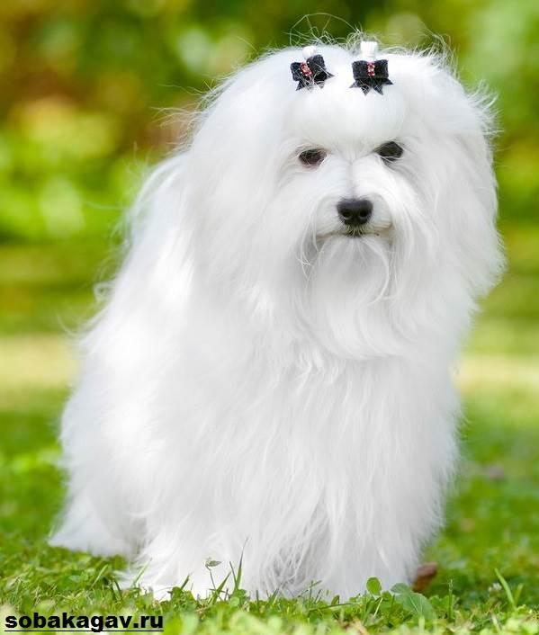 Мальтийская-болонка-собака-Описание-особенности-уход-и-цена-мальтийской-болонки-8