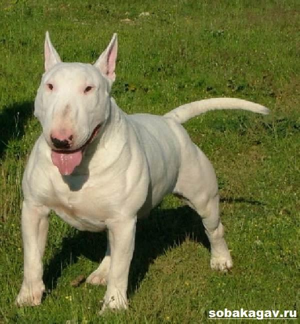 Миниатюрный-бультерьер-собака-Описание-особенности-уход-и-цена-породы-1