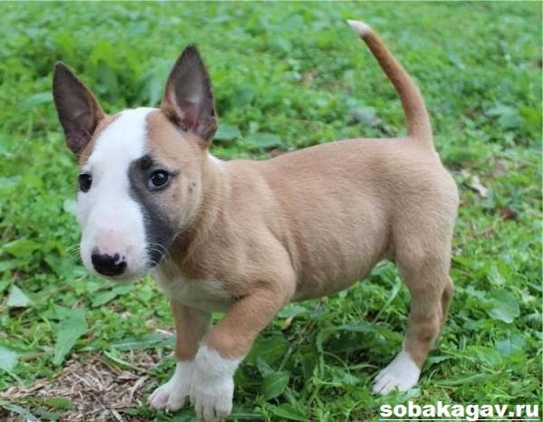 Миниатюрный-бультерьер-собака-Описание-особенности-уход-и-цена-породы-11