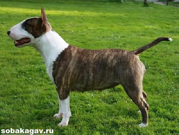 Миниатюрный-бультерьер-собака-Описание-особенности-уход-и-цена-породы-12