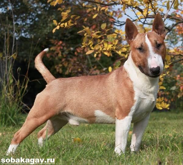 Миниатюрный-бультерьер-собака-Описание-особенности-уход-и-цена-породы-4