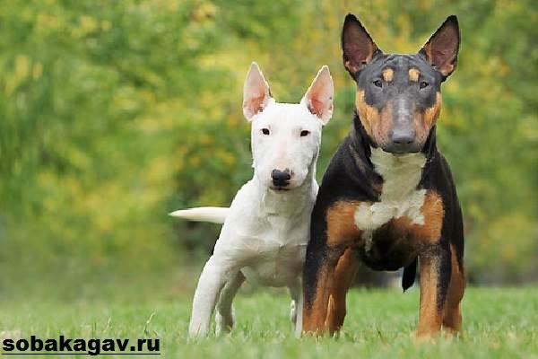 Миниатюрный-бультерьер-собака-Описание-особенности-уход-и-цена-породы-7