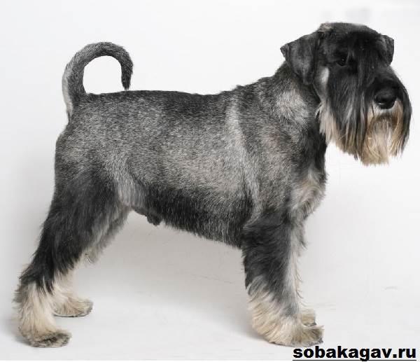 Миттельшнауцер-собака-Описание-особенности-уход-и-цена-миттельшнауцера-1