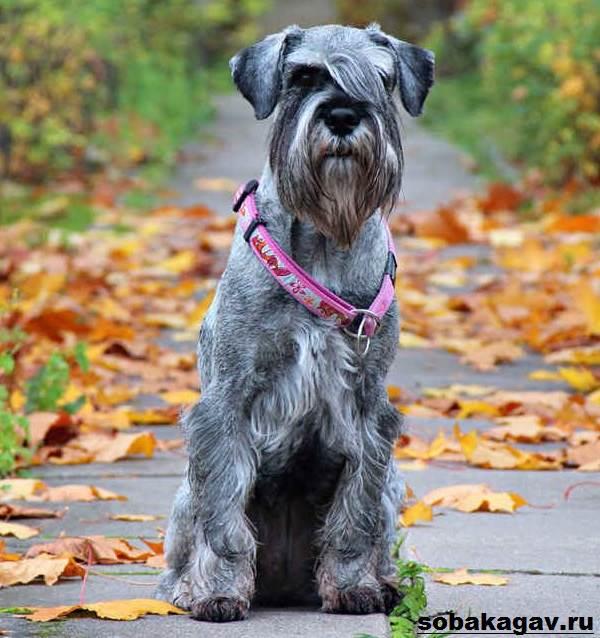 Миттельшнауцер-собака-Описание-особенности-уход-и-цена-миттельшнауцера-10