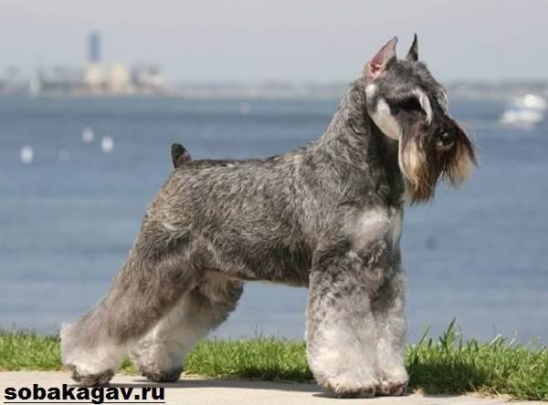 Миттельшнауцер-собака-Описание-особенности-уход-и-цена-миттельшнауцера-11