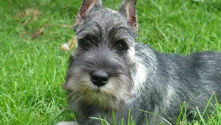 Миттельшнауцер собака. Описание, особенности, уход и цена миттельшнауцера