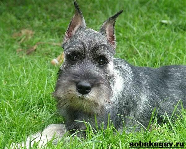 Миттельшнауцер-собака-Описание-особенности-уход-и-цена-миттельшнауцера-12