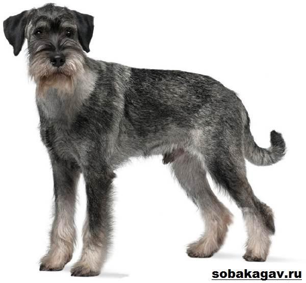 Миттельшнауцер-собака-Описание-особенности-уход-и-цена-миттельшнауцера-2
