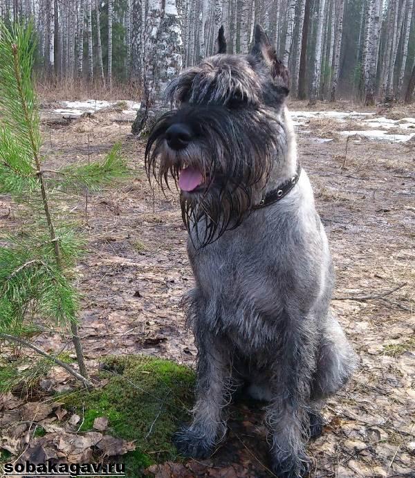 Миттельшнауцер-собака-Описание-особенности-уход-и-цена-миттельшнауцера-3