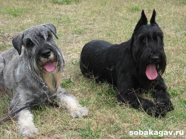Миттельшнауцер-собака-Описание-особенности-уход-и-цена-миттельшнауцера-4