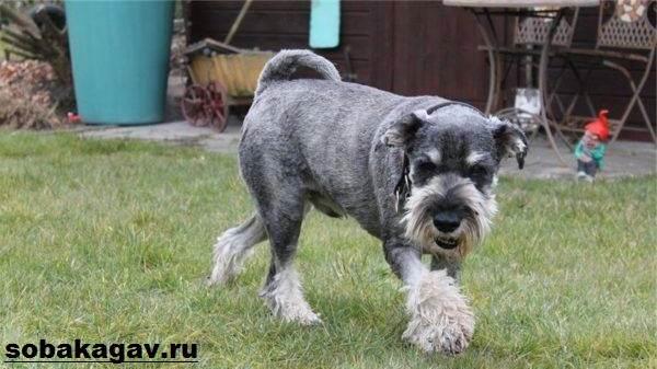 Миттельшнауцер-собака-Описание-особенности-уход-и-цена-миттельшнауцера-5