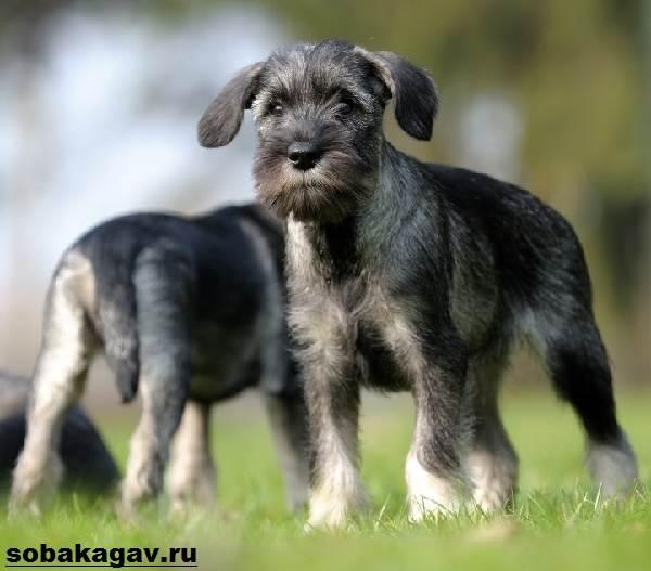 Миттельшнауцер-собака-Описание-особенности-уход-и-цена-миттельшнауцера-6