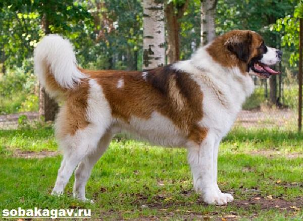Московская-сторожевая-собака-Описание-особенности-уход-и-цена-породы-4