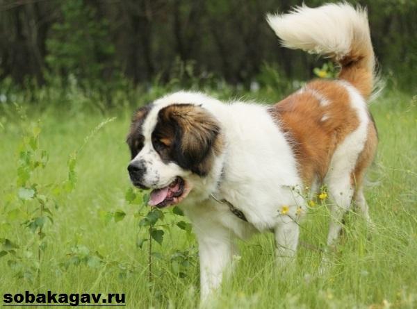 Московская-сторожевая-собака-Описание-особенности-уход-и-цена-породы-6