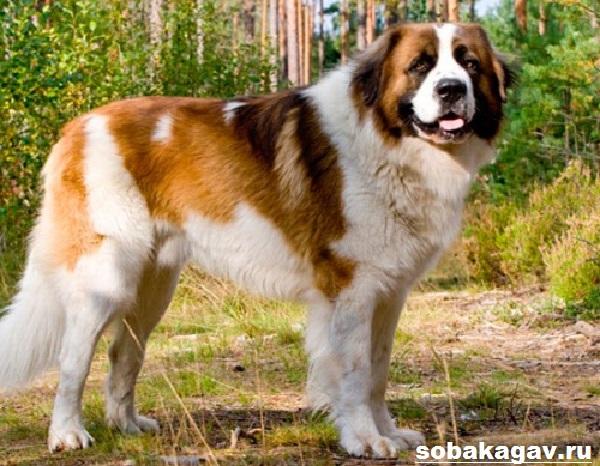 Московская-сторожевая-собака-Описание-особенности-уход-и-цена-породы-7