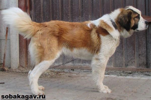 Московская-сторожевая-собака-Описание-особенности-уход-и-цена-породы-8