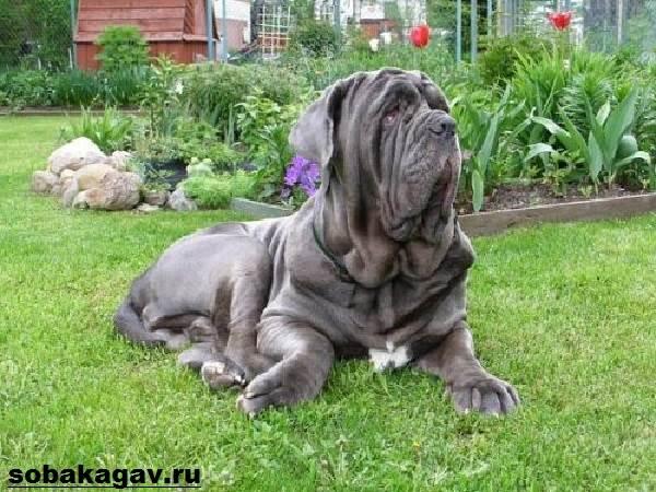 Неаполитанский-мастиф-собака-Описание-особенности-уход-и-цена-породы-1
