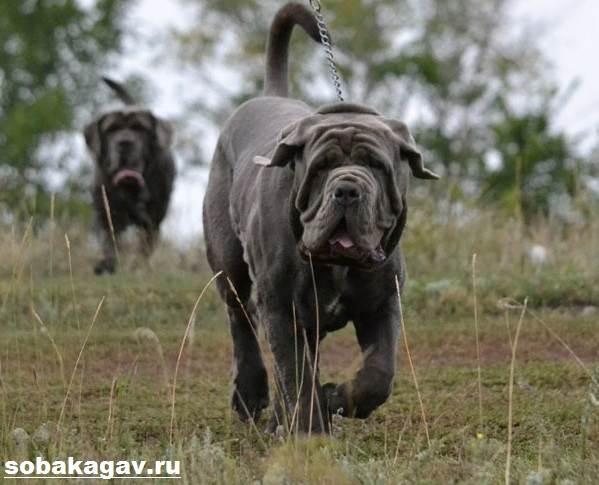 Неаполитанский-мастиф-собака-Описание-особенности-уход-и-цена-породы-4