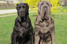 Неаполитанский мастиф собака. Описание, особенности, уход и цена породы