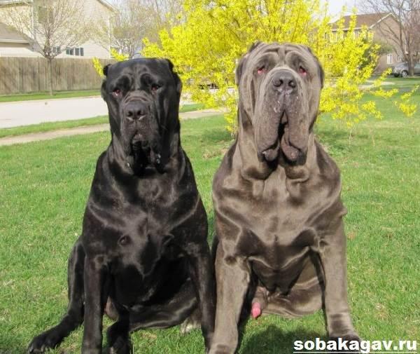 Неаполитанский-мастиф-собака-Описание-особенности-уход-и-цена-породы-7