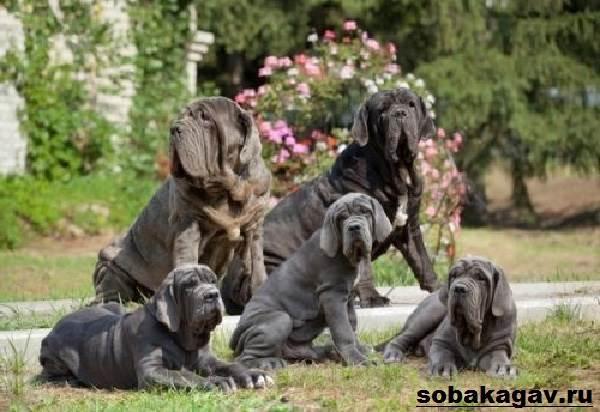 Неаполитанский-мастиф-собака-Описание-особенности-уход-и-цена-породы-8