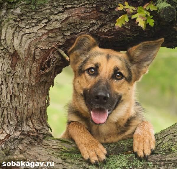 Немецкая-овчарка-собака-Описание-особенности-уход-и-цена-немецкой-овчарки-2