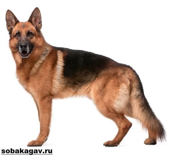 Немецкая-овчарка-собака-Описание-особенности-уход-и-цена-немецкой-овчарки-8