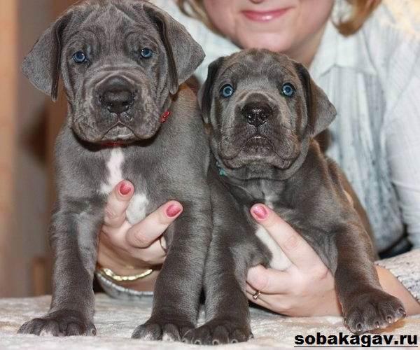 Немецкий-дог-собака-Описание-особенности-уход-и-цена-немецкого-дога-10