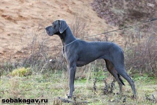 Немецкий-дог-собака-Описание-особенности-уход-и-цена-немецкого-дога-2