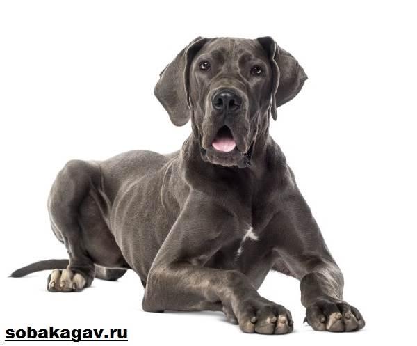 Немецкий-дог-собака-Описание-особенности-уход-и-цена-немецкого-дога-5