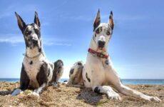 Немецкий дог собака. Описание, особенности, уход и цена немецкого дога