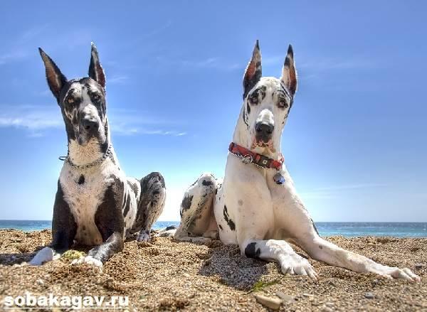 Немецкий-дог-собака-Описание-особенности-уход-и-цена-немецкого-дога-6