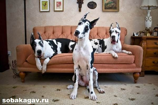 Немецкий-дог-собака-Описание-особенности-уход-и-цена-немецкого-дога-7