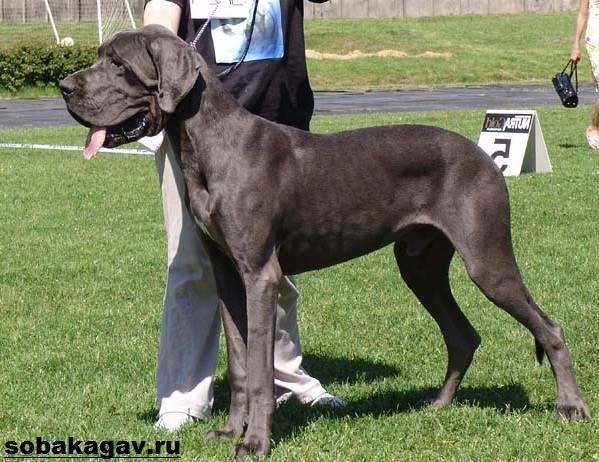 Немецкий-дог-собака-Описание-особенности-уход-и-цена-немецкого-дога-9