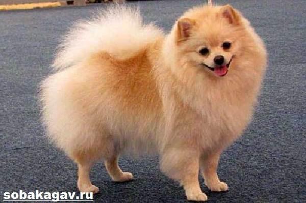 Немецкий-шпиц-собака-Описание-особенности-уход-и-цена-немецкого-шпица-1