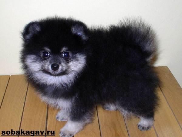 Немецкий-шпиц-собака-Описание-особенности-уход-и-цена-немецкого-шпица-10