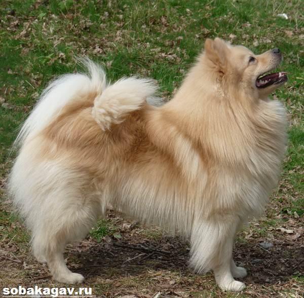 Немецкий-шпиц-собака-Описание-особенности-уход-и-цена-немецкого-шпица-3
