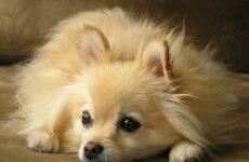 Немецкий шпиц собака. Описание, особенности, уход и цена немецкого шпица