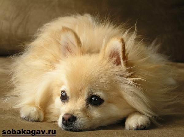 Немецкий-шпиц-собака-Описание-особенности-уход-и-цена-немецкого-шпица-5
