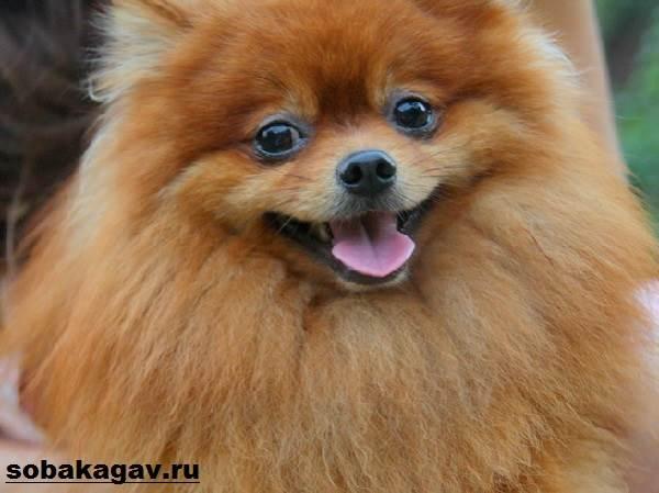 Немецкий-шпиц-собака-Описание-особенности-уход-и-цена-немецкого-шпица-6
