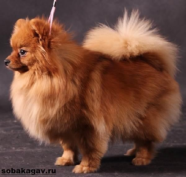 Немецкий-шпиц-собака-Описание-особенности-уход-и-цена-немецкого-шпица-7