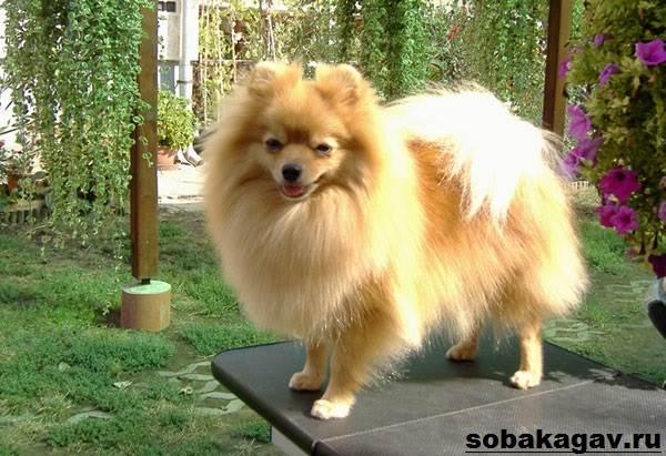 Немецкий-шпиц-собака-Описание-особенности-уход-и-цена-немецкого-шпица-9